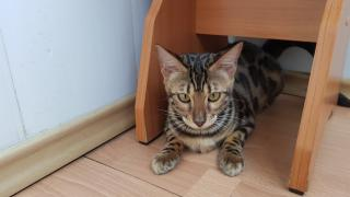 Bengal kittens from cattery Bengalkiev