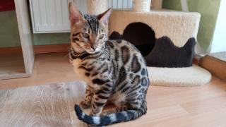 Exclusive Bengal kittens Zaporozhye