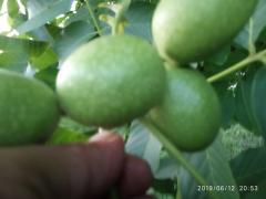 Seedlings of walnut grozdanova fruiting